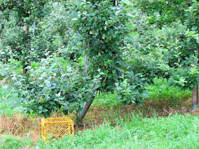 Apple tree in Hardanger, Norway
