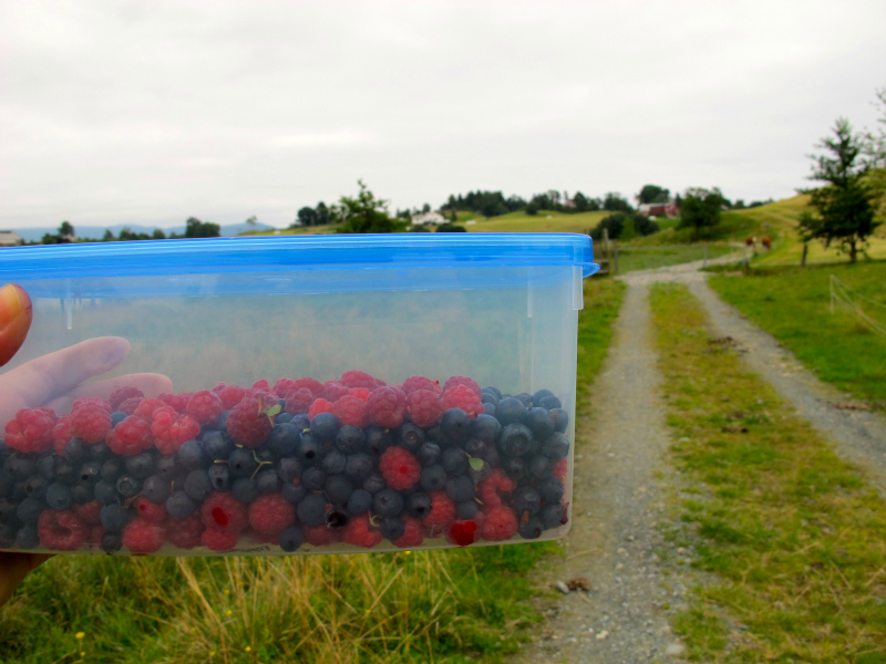 Picking Norwegian berries in the countryside
