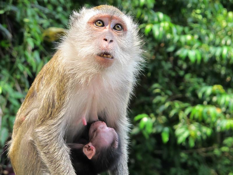 Monkeys in Kuala Lumpur, Malaysia