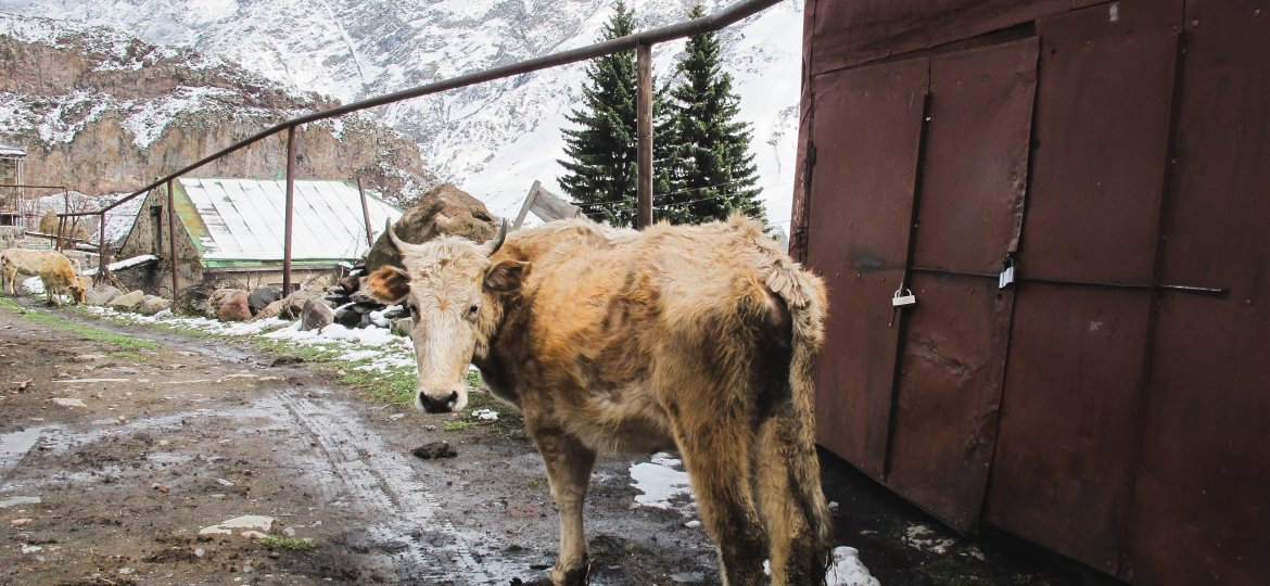 Cow in Kazbegi or Stepantsminda, Georgia