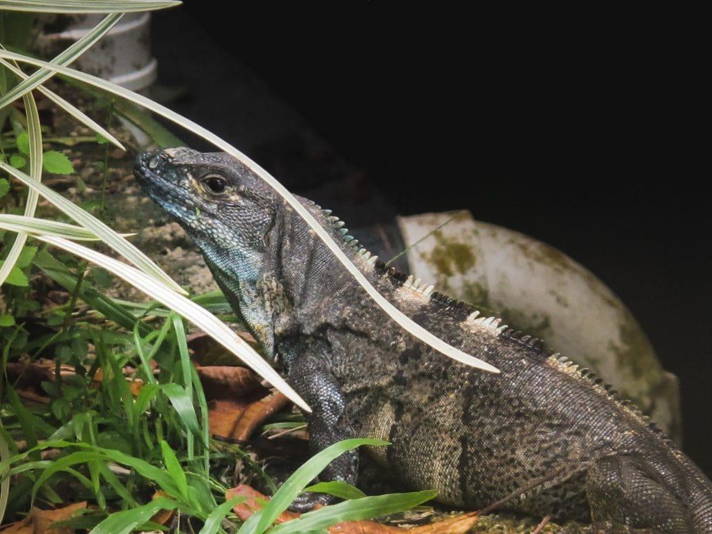 Iguana in Montezuma, Costa Rica