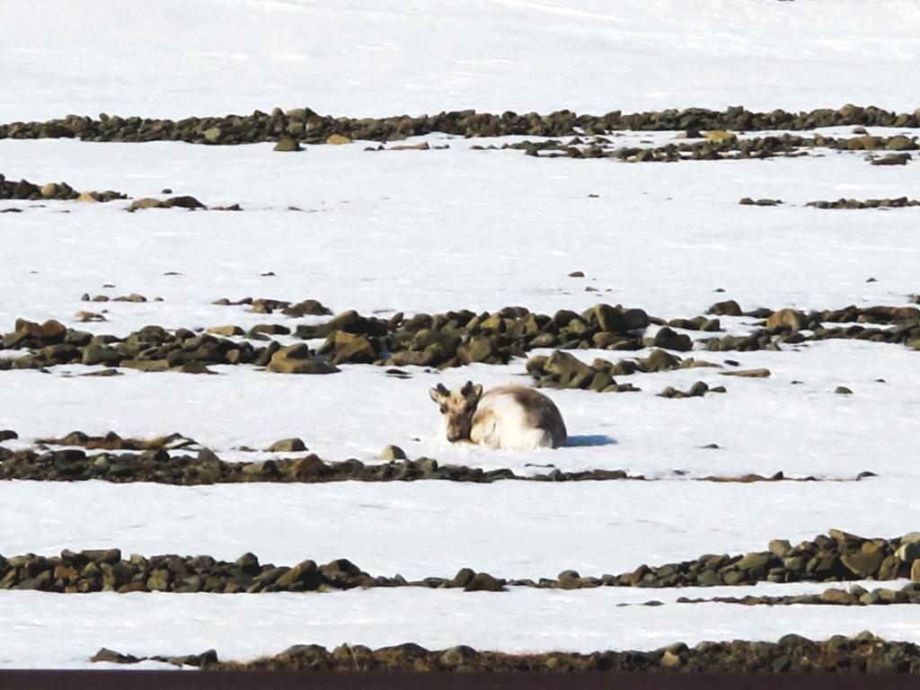 Reindeer in Longyearbyen in Svalbard, Norway