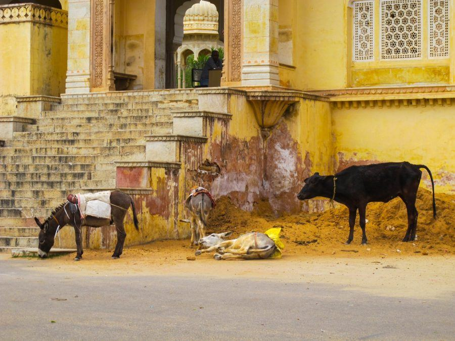 Cows, goats, and donkeys outside of Royal Gaitor Tumbas in Jaipur, India