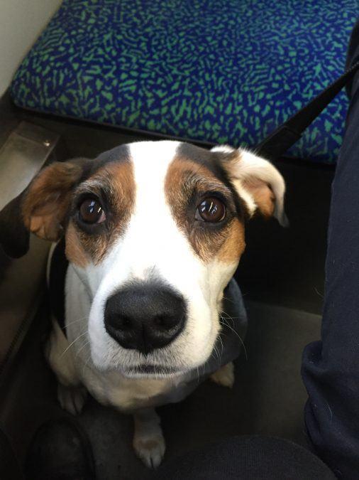 Sad beagle :(