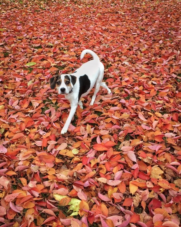 My dog in autumn in Frankfurt