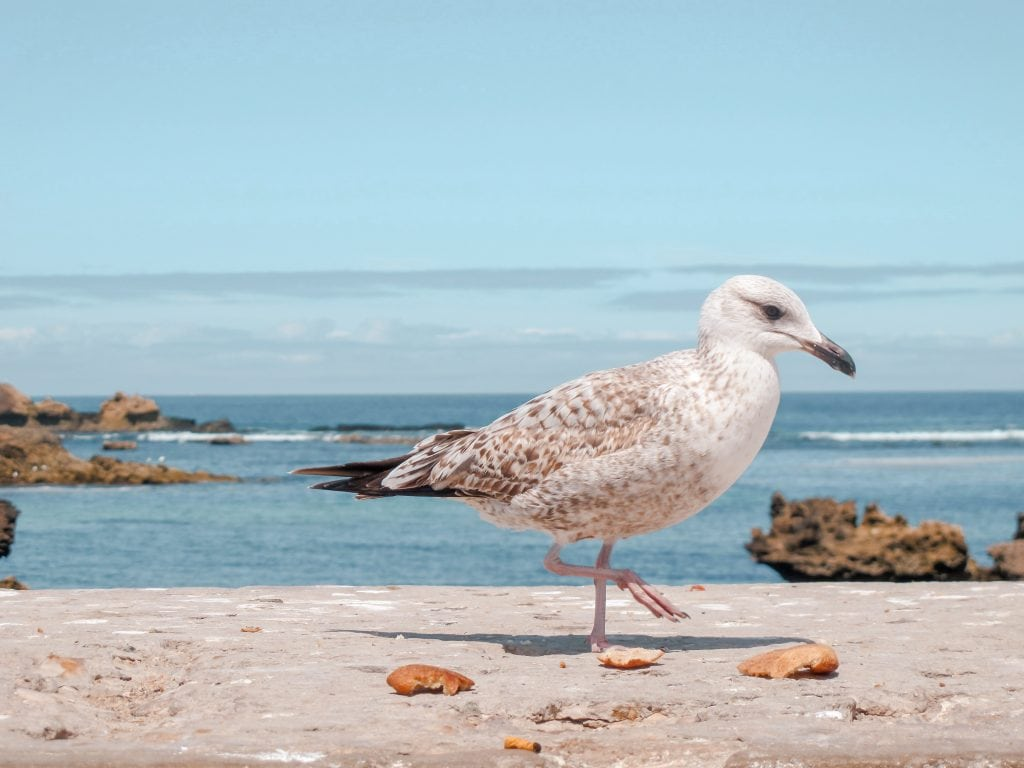 Essaouira, Morocco seagull