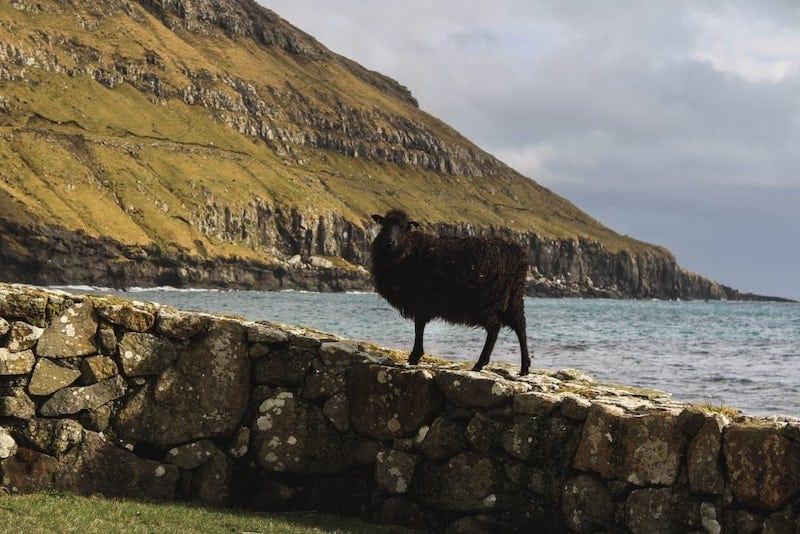 Black Sheep at Kirkjubour Faroes