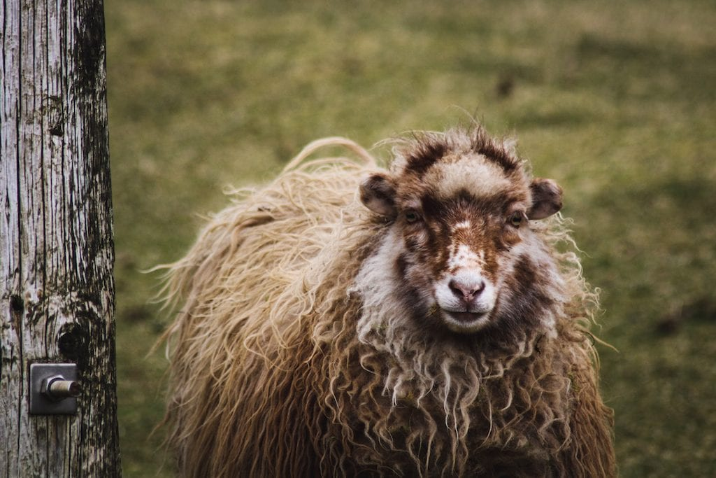 Sheep in Tjørnuvik in the Faroe Islands