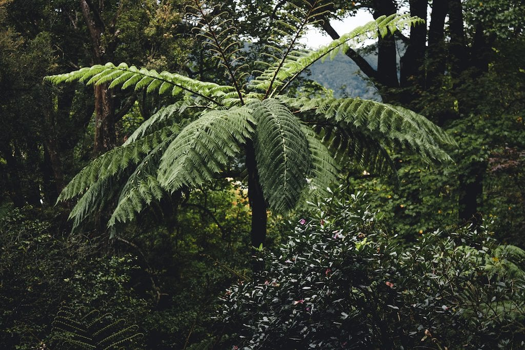 Sao Miguel fern in the Azores