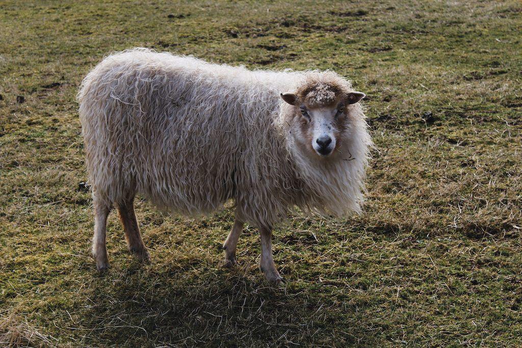 sheep on kalsoy in faroe islands