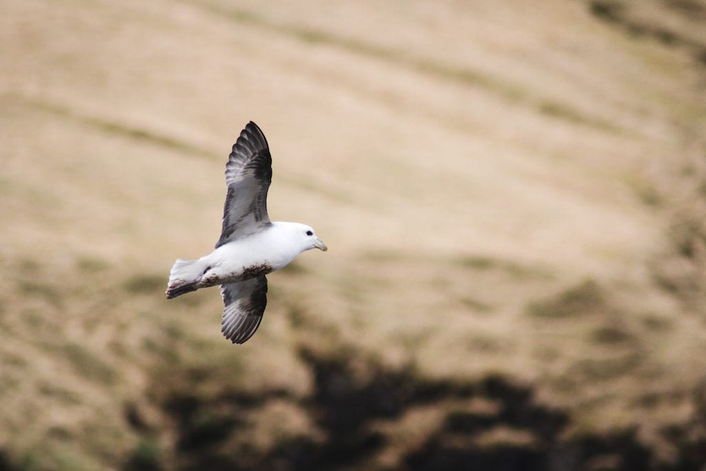 sea birds fulmar on kalsoy in faroe islands
