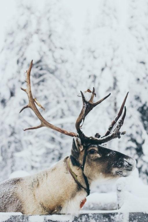 reindeer at Palosaari in ruka and kuusamo finland reindeer farm