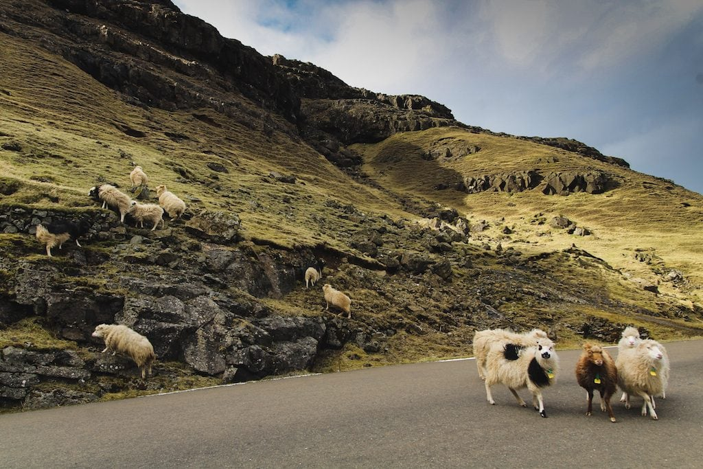 sheep on the road in the faroe islands road trip