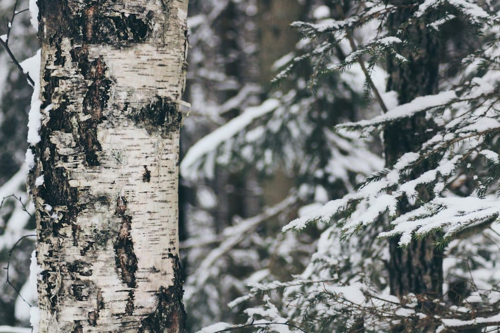 Nuuksio National Park: The Most Beautiful Winter Day Trip From Helsinki birch tree