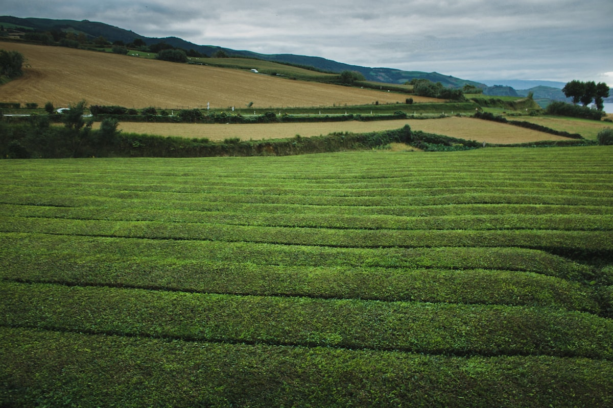 Best Azores Tours: How to Visit Sao Miguel, Azores Without a Car tea plantation