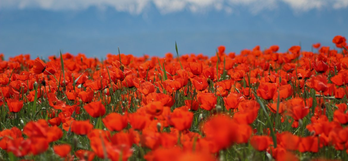 Central Asia Travel Tips: 50 Things to Know and Do Before You Visit kazakhstan poppy fields