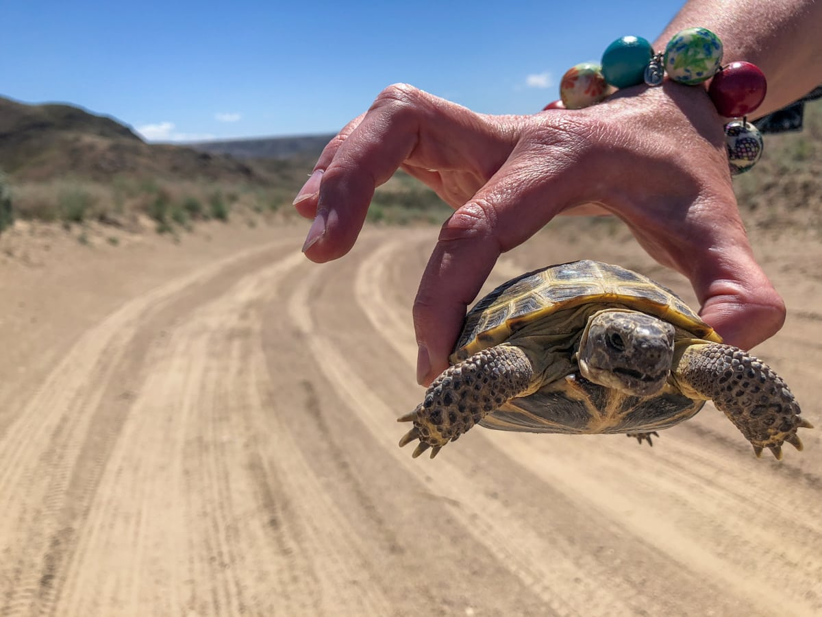 Central Asia Travel Tips: 50 Things to Know and Do Before You Visit turtle on desert road in kazakhstan