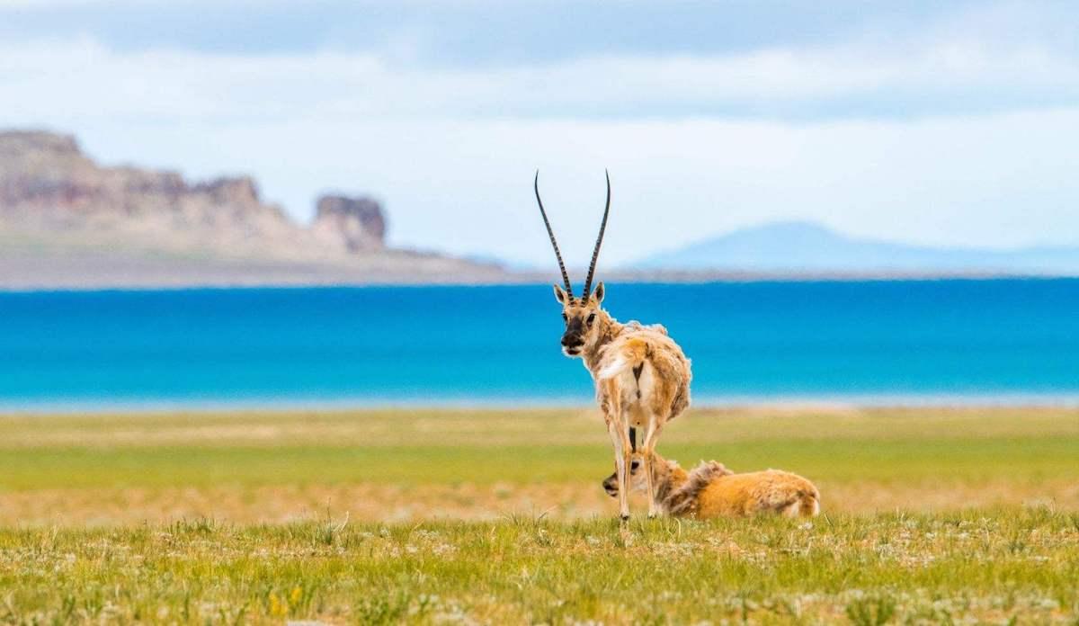 tibetan antilope