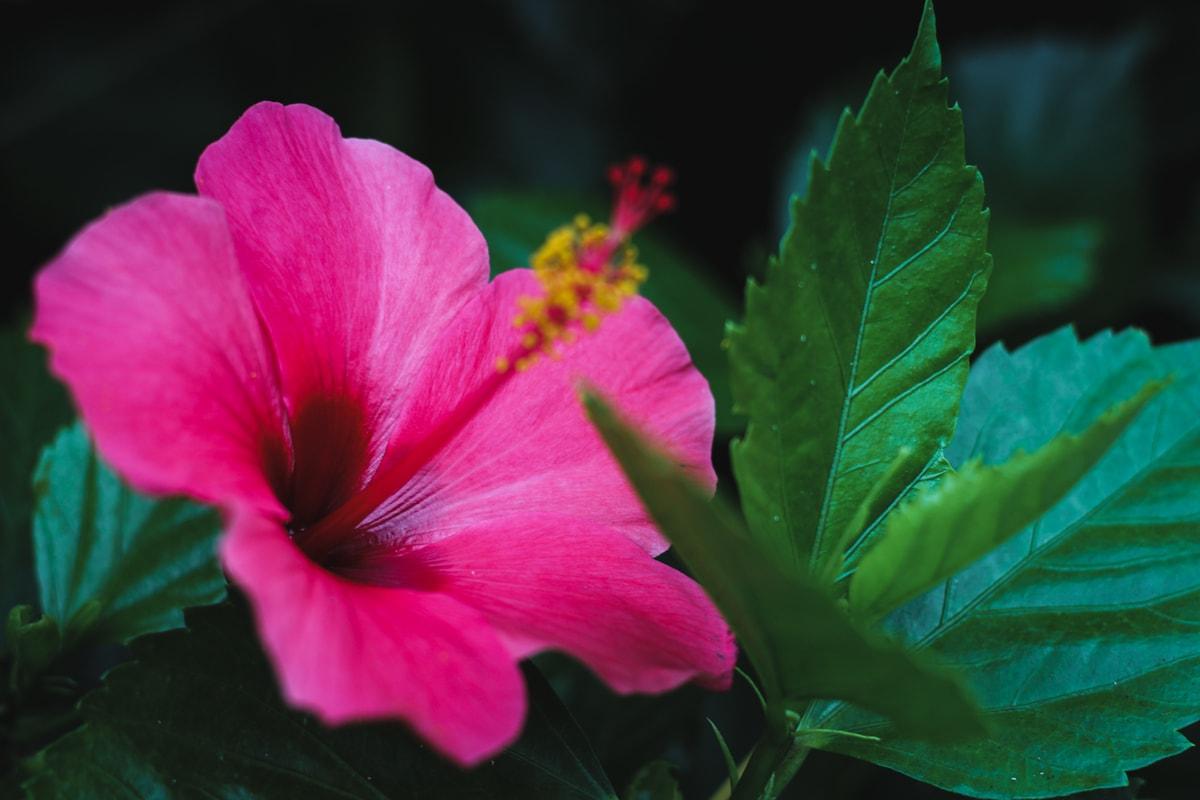 hibiscus flower near ponta delgada azores