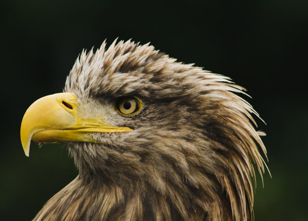 eagles flying sea eagle in sligo ireland