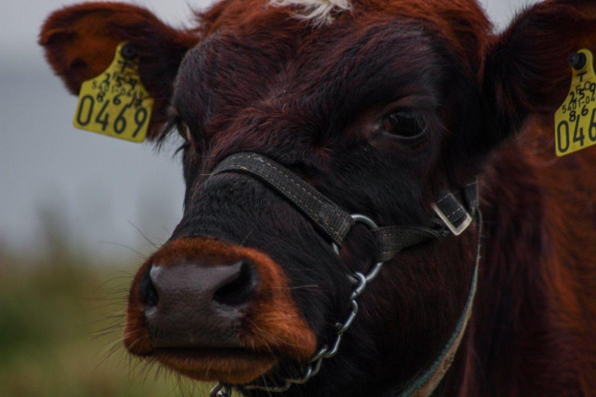 cow in hvalba on suduroy in faroes