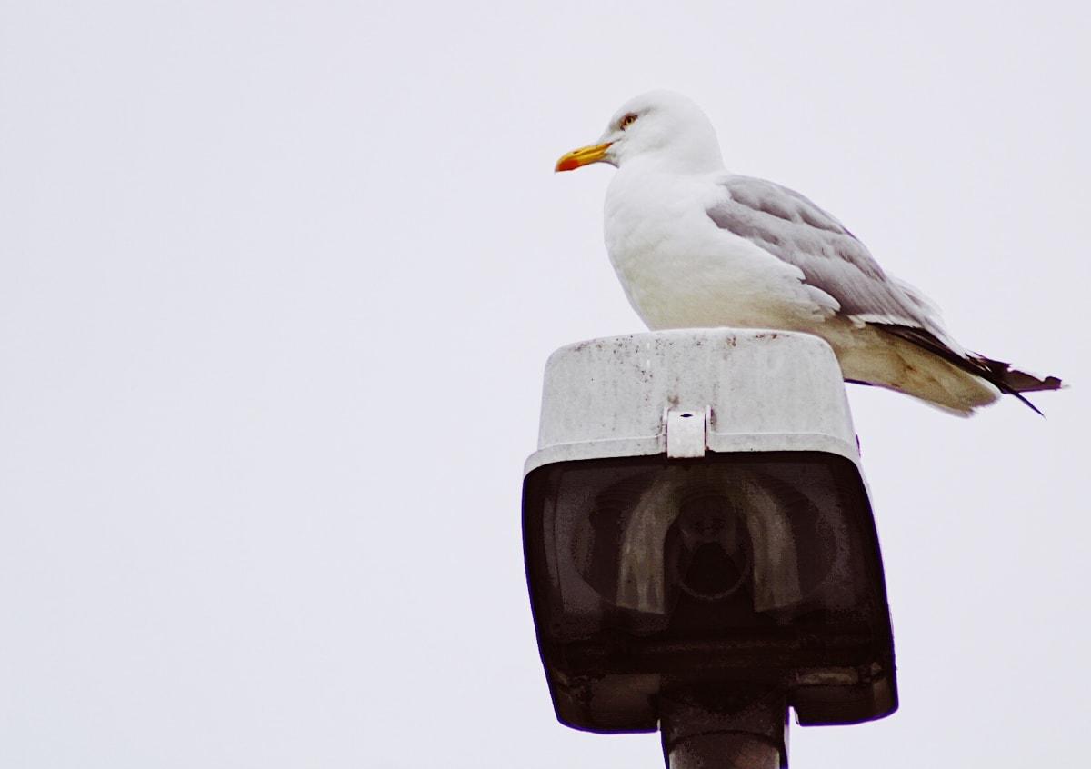 seagull on suduroy in faroe islands