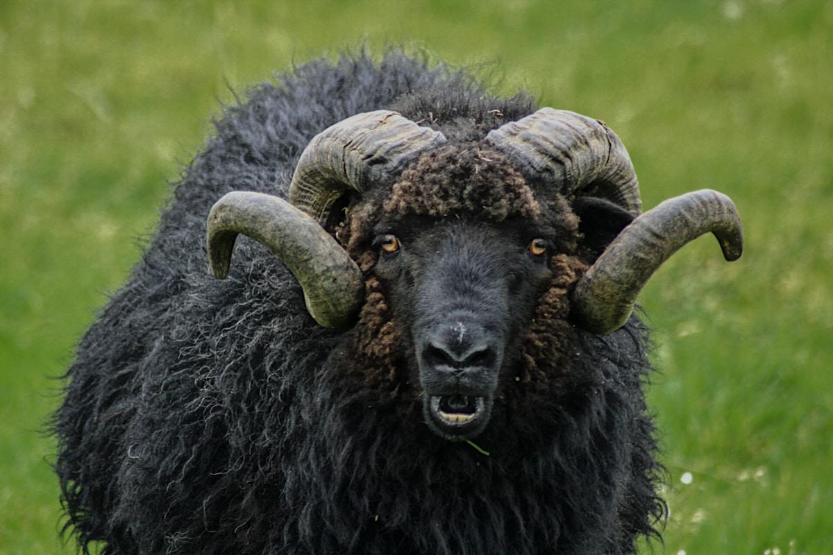 black sheep on suduroy