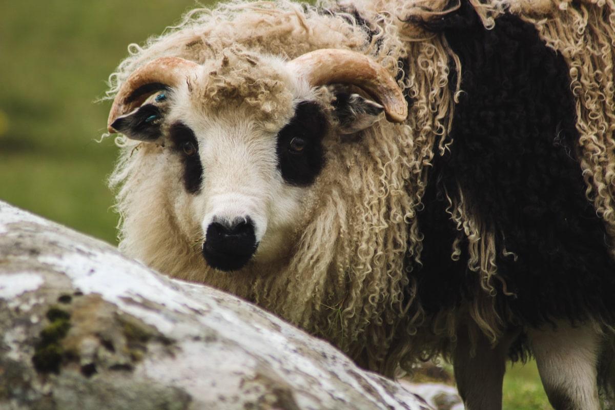 sheep on suduroy faroes