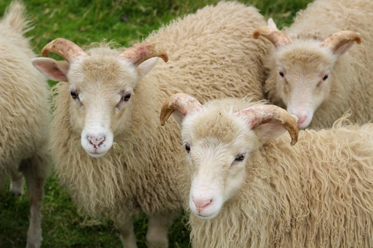 sheep on suduroy island faroes