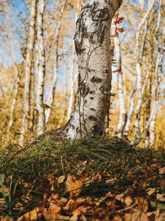 grove of dancing birch trees in borovoe kazakhstan