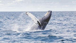 Azores Whale Watching Tours (Ethical Sao Miguel Options)