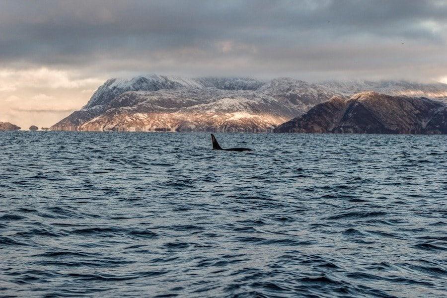 orcas in tromso norway