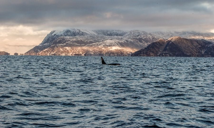 orcas in tromso norway