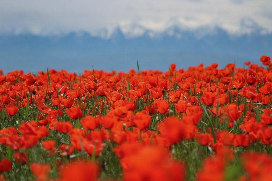 poppy fields : best day trips from almaty kazakhstan-1-min