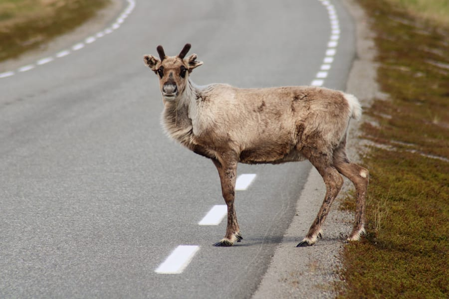 nordkapp reindeer-4