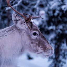 Ethical Sami Tours and Tromsø Reindeer Farms You Can Visit