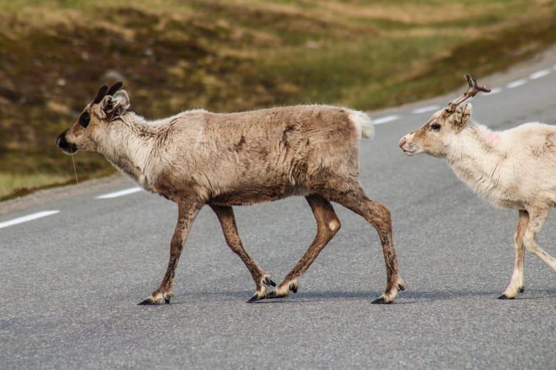 Reindeer on Magerøya Norway (Magerøya photos)