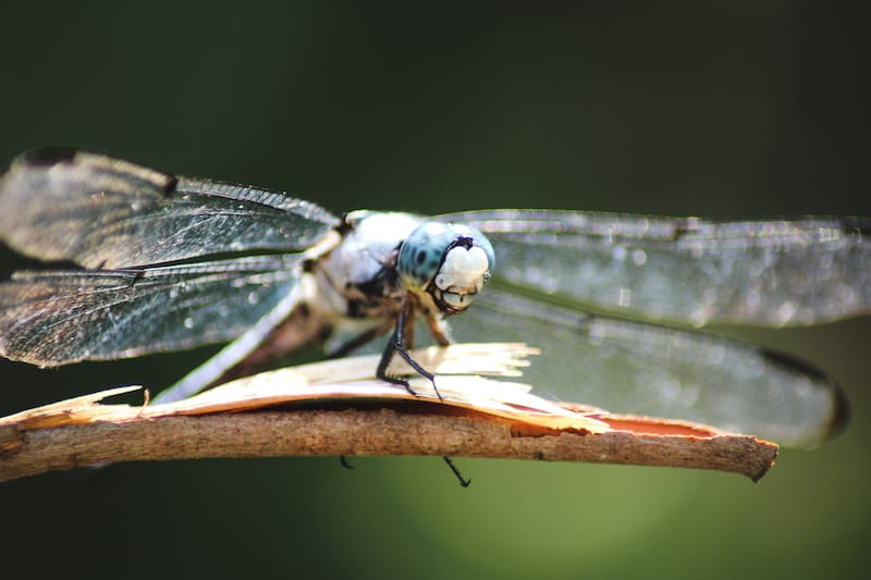 Great Dismal Swamp dragonfly nature and wildlife