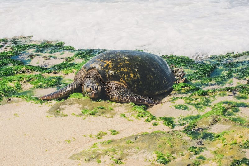 4 Days in Oahu Itinerary: Your Ultimate Island Road Trip: turtles on oahu