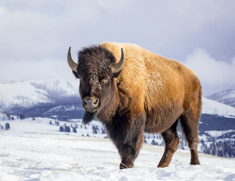 Bison at Yellowstone National Park during Winter