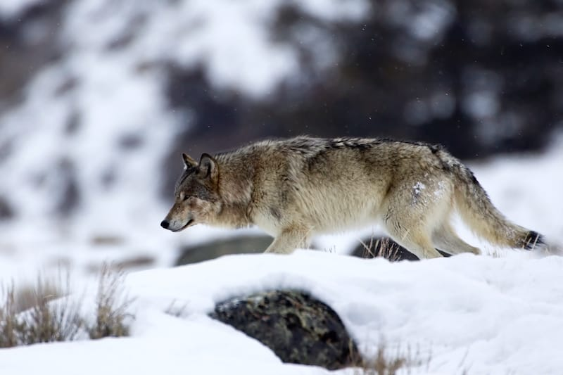 Gray Wolf in Yellowstone National Park in winter