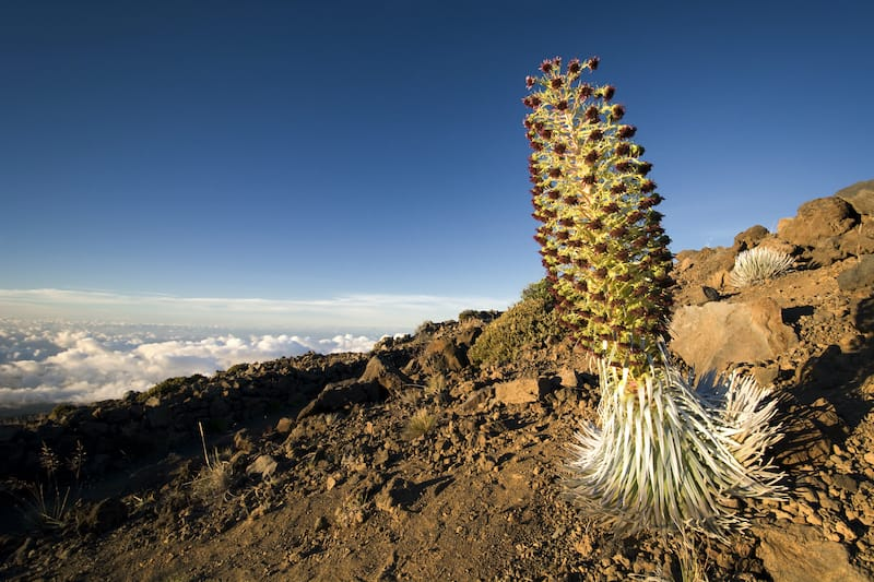 Silversword plant in flower, Haleakala National Park