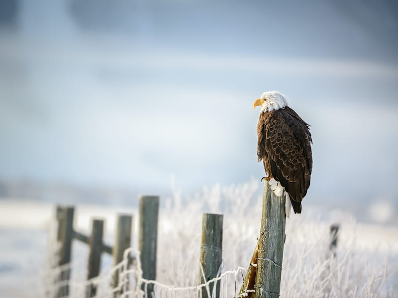Bald Eagle standing on a fence, Grand Teton National Park