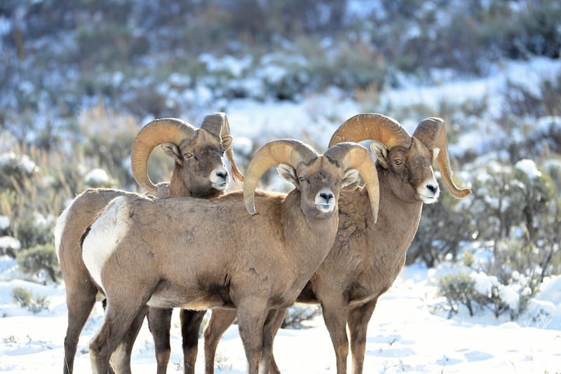 Big Horn Mountain Sheep in Grand Tetons in Wyoming
