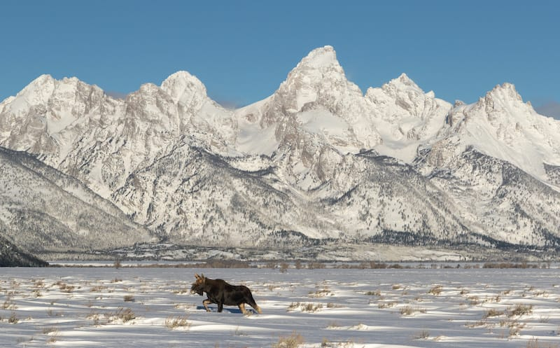 Grand Teton National Park in winter with a moose