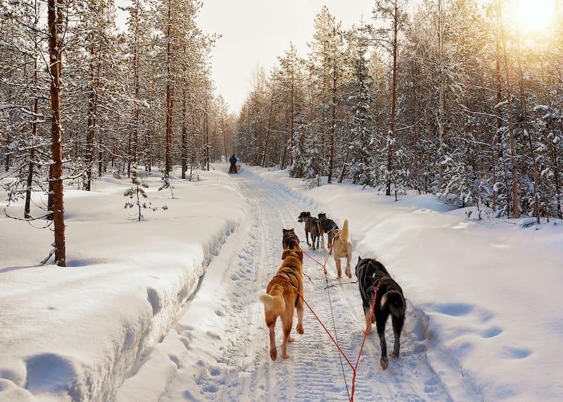 Husky sledding in Rovaniemi Lapland Finland