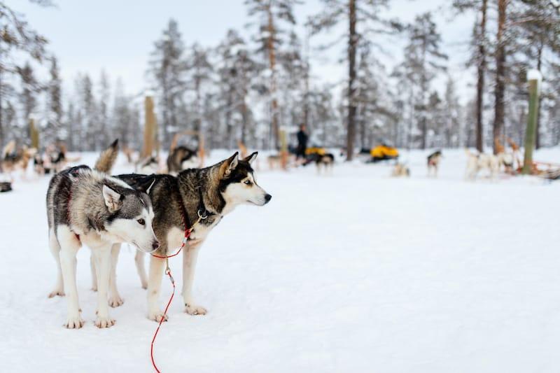 Lapland husky tour
