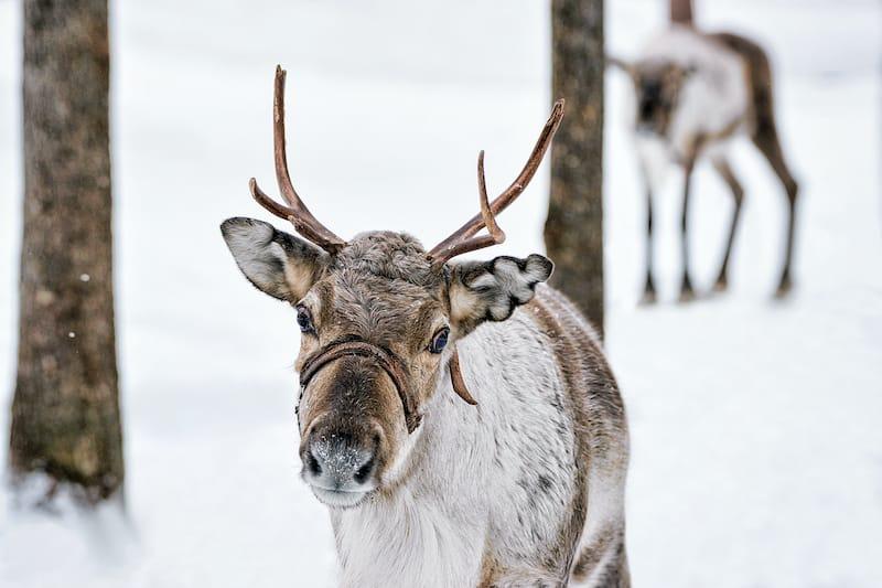 Reindeer in Rovaniemi tour