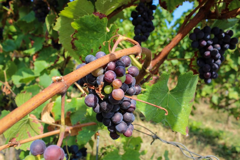 Wine in Rudesheim vineyards