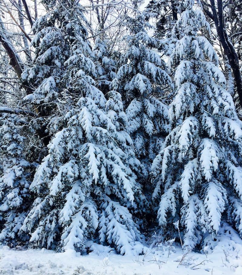 Snow-flocked Balsam Fir Christmas Trees on Wonderland Trail Acadia National Forest Bass Harbor Desert Island Maine